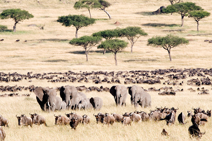 wildebeests-with-african-elephants-panoramic-images