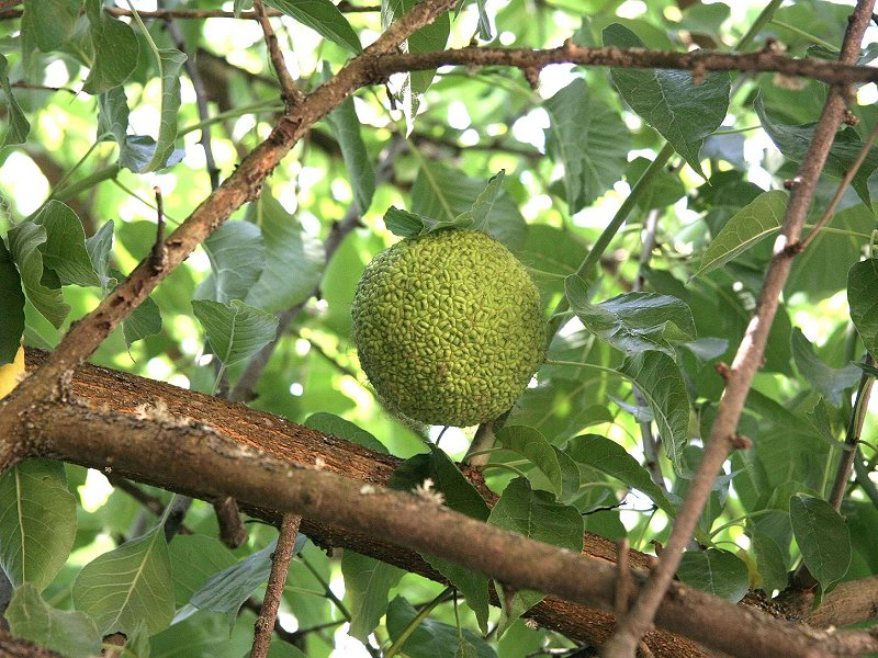 osage_orange_tree